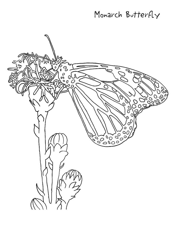 Monarch Coloring Page : monarch, coloring, Monarch, Butterfly, Coloring