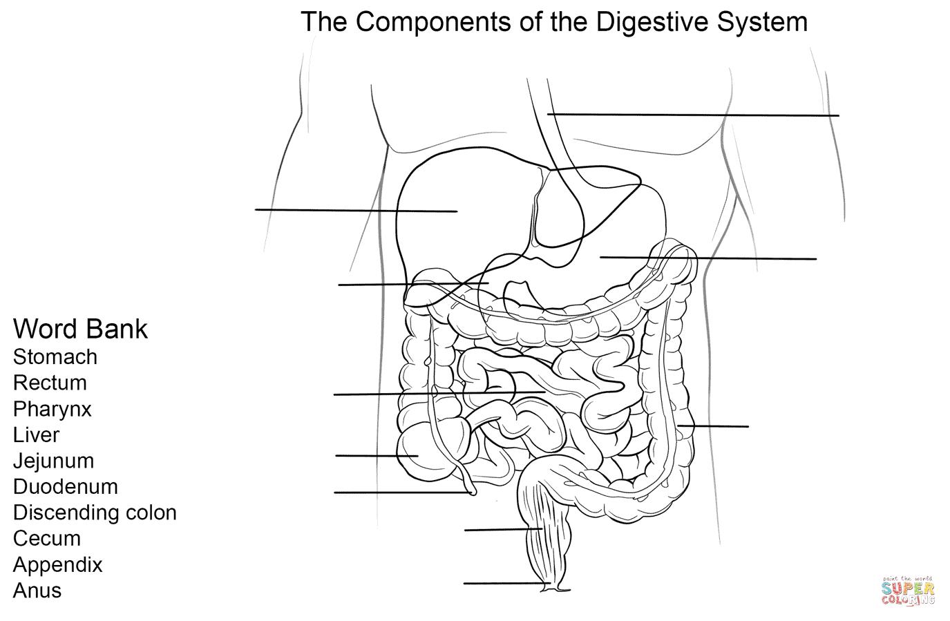 4th grade digestive system diagram 3 phase kwh meter wiring worksheet coloring page free printable