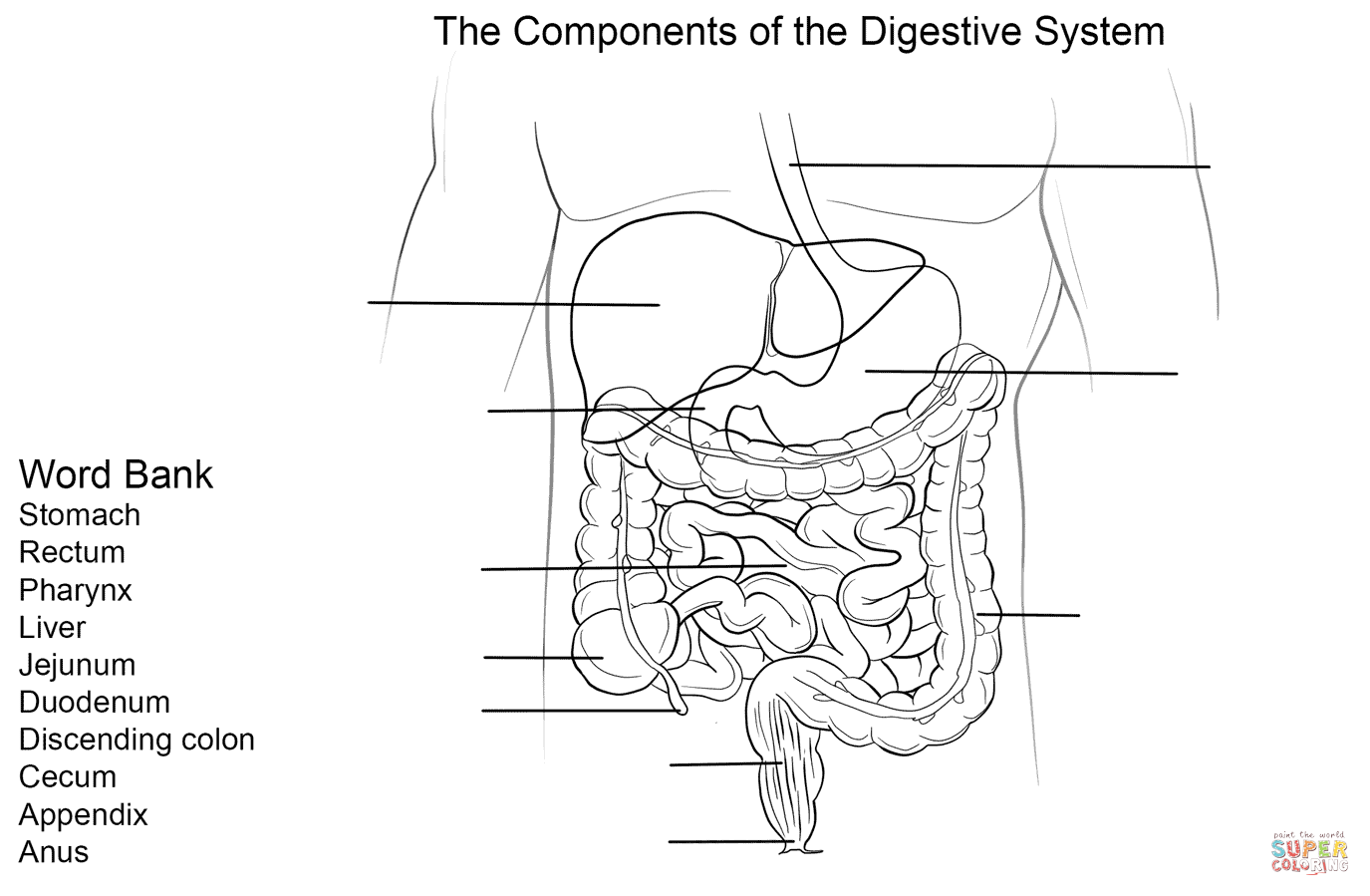 hight resolution of digestive system worksheet coloring page free printable coloring