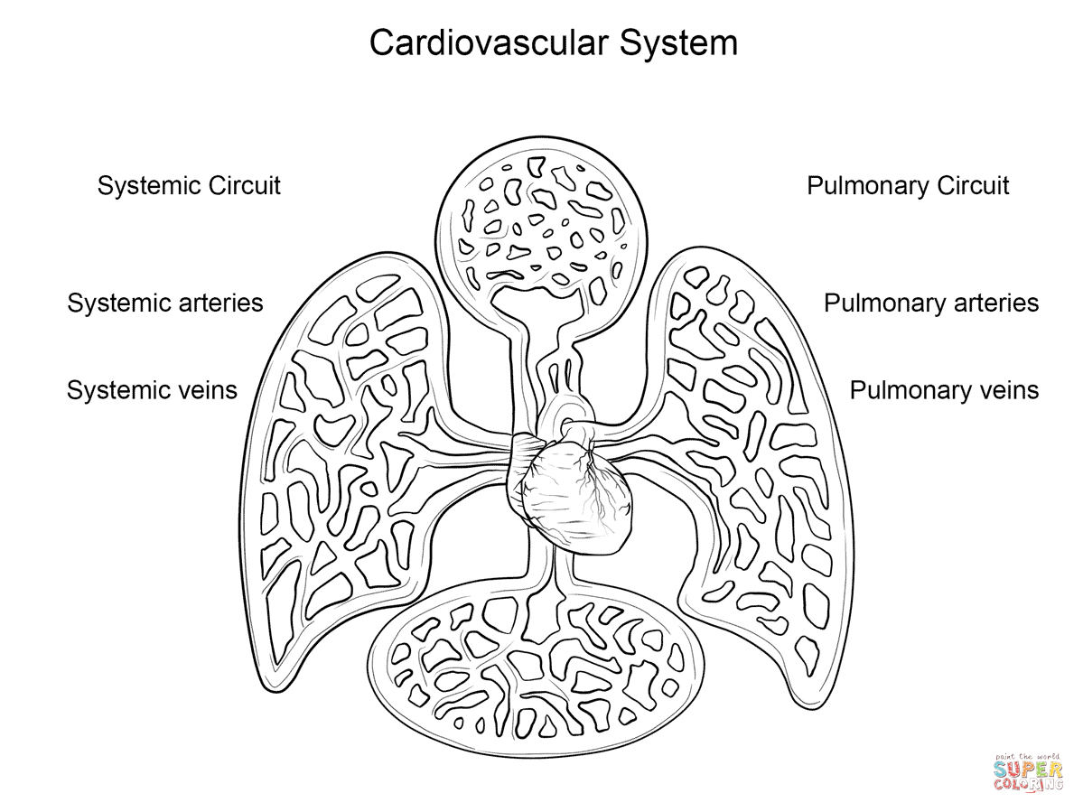 Cardiovascular System Coloring Page