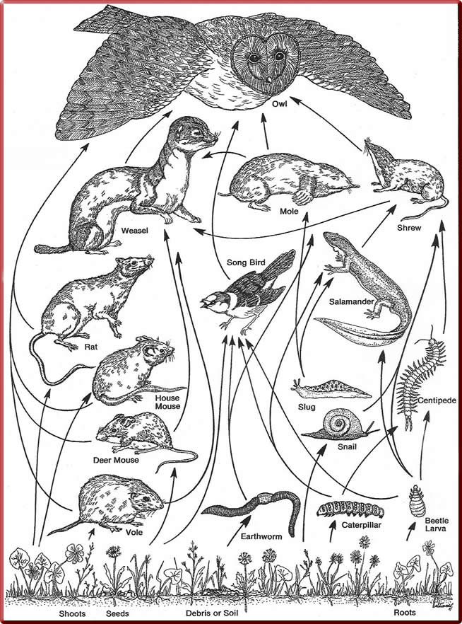 Food Chain Colouring Pages Sketch Coloring Page