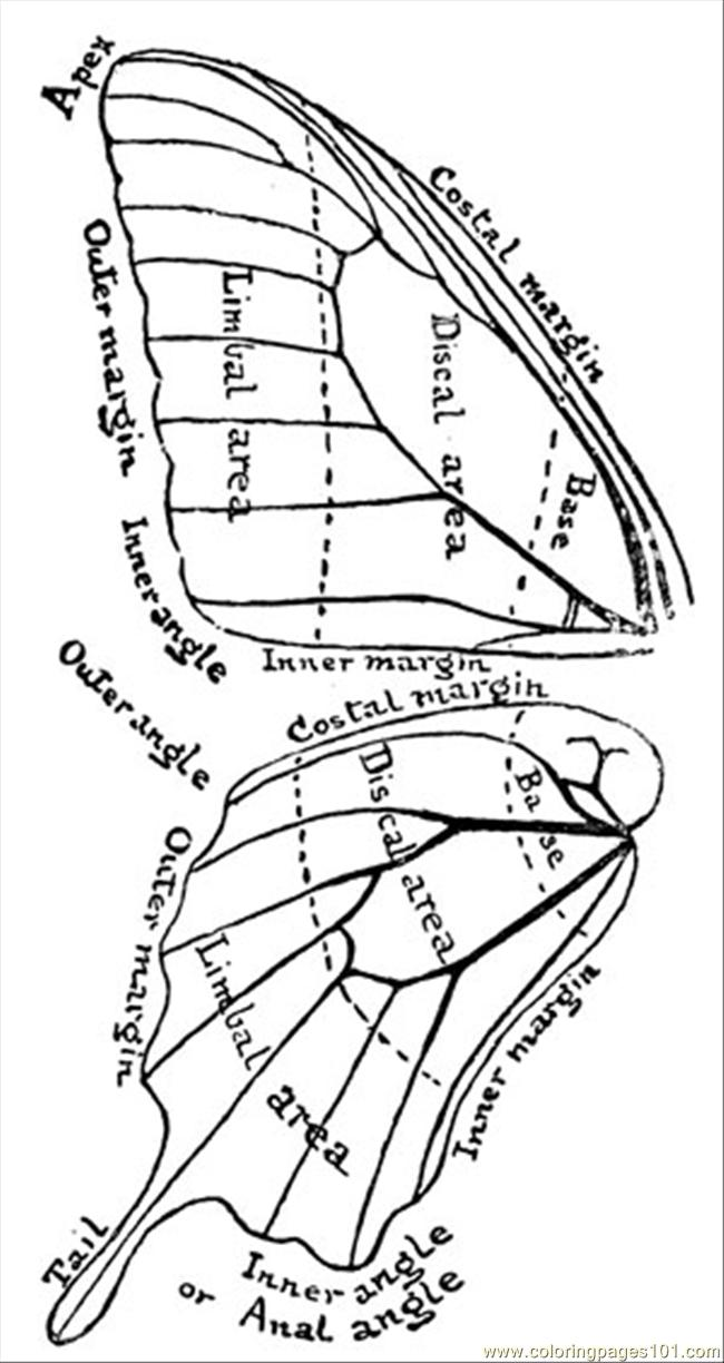Free coloring pages of butterfly anatomy