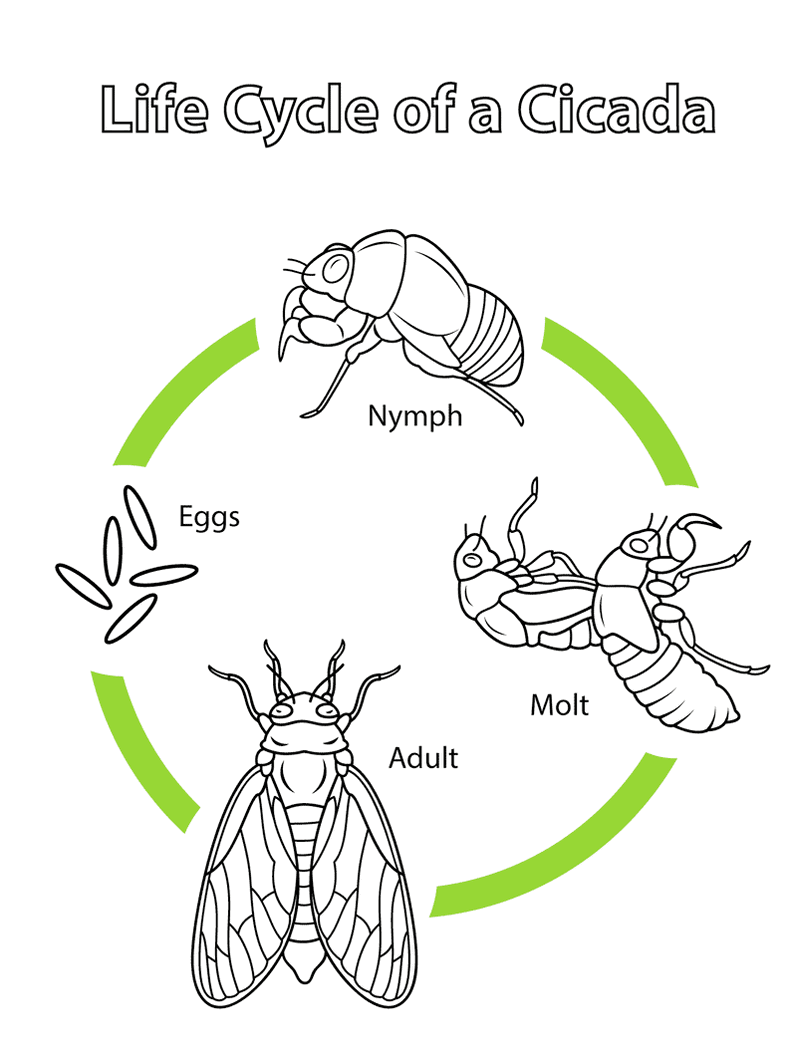 cicada-life-cycle-coloring-page-online