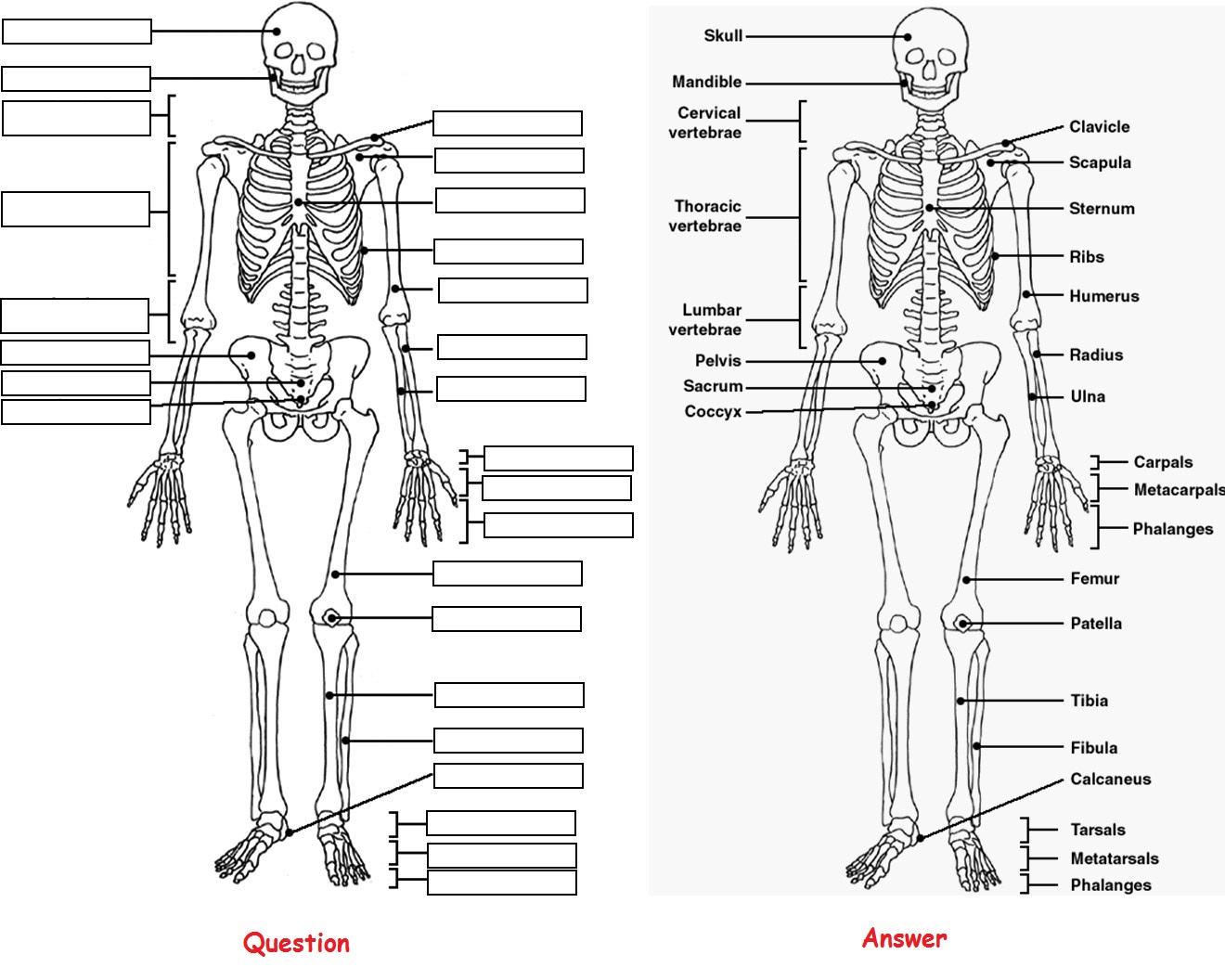 Skeleton Anatomy Coloring Pictures Label Question And Answer