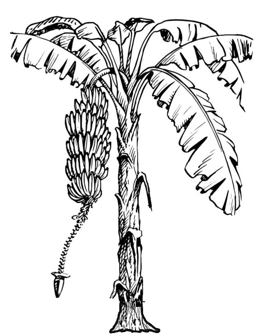 banana tree coloring and activity page