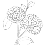 Hydrangea Flower Lineart Drawing Coloring Pages