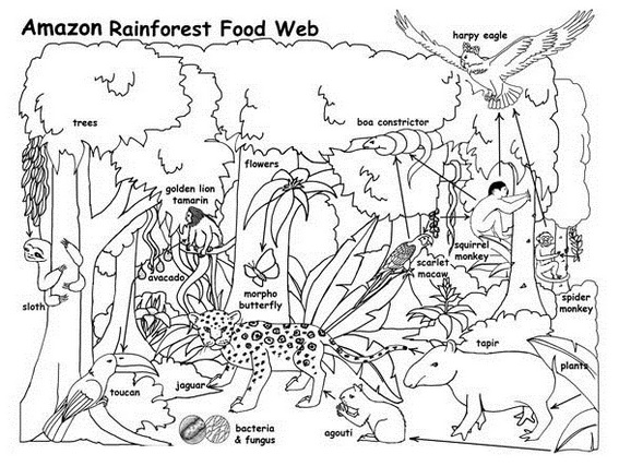 Amazon Rain Forest Food Web Coloring Activity Page