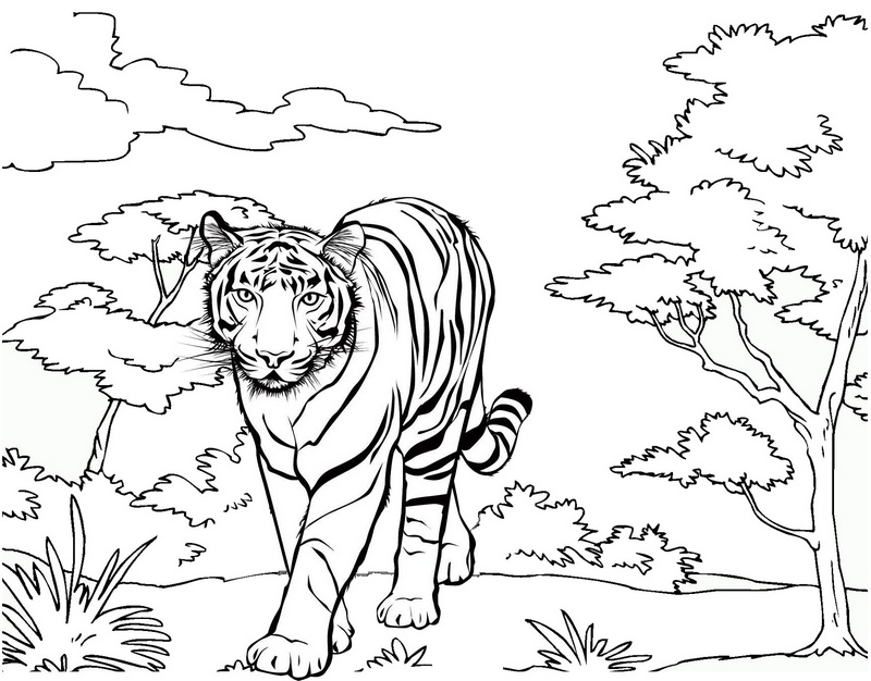 best tiger coloring page drawing activity