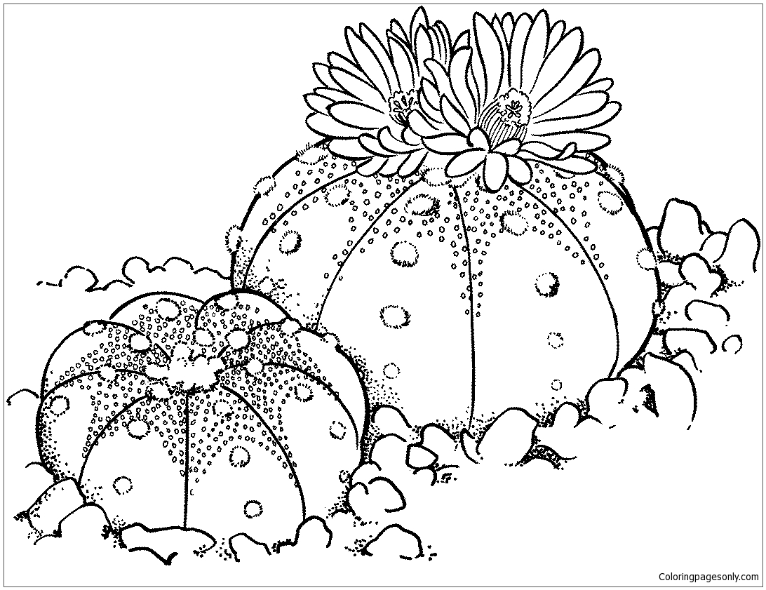 Astrophytum asterias or Sand Dollar Cactus Coloring Page