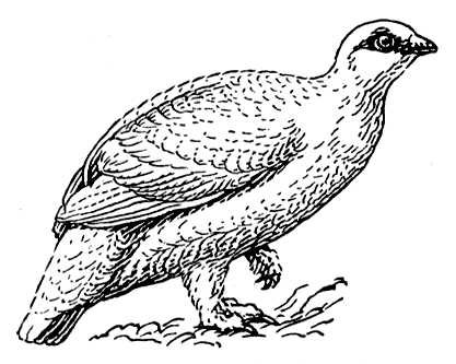 Partridge coloring pages to download and print for free