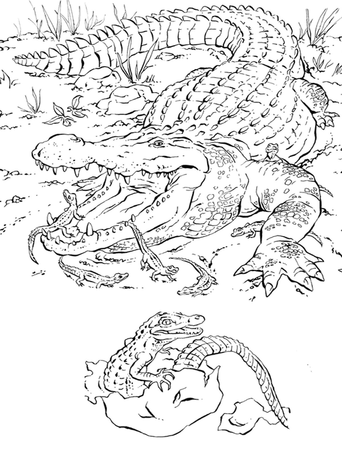 Florida animals coloring pages download and print for free | colouring pages printable animals
