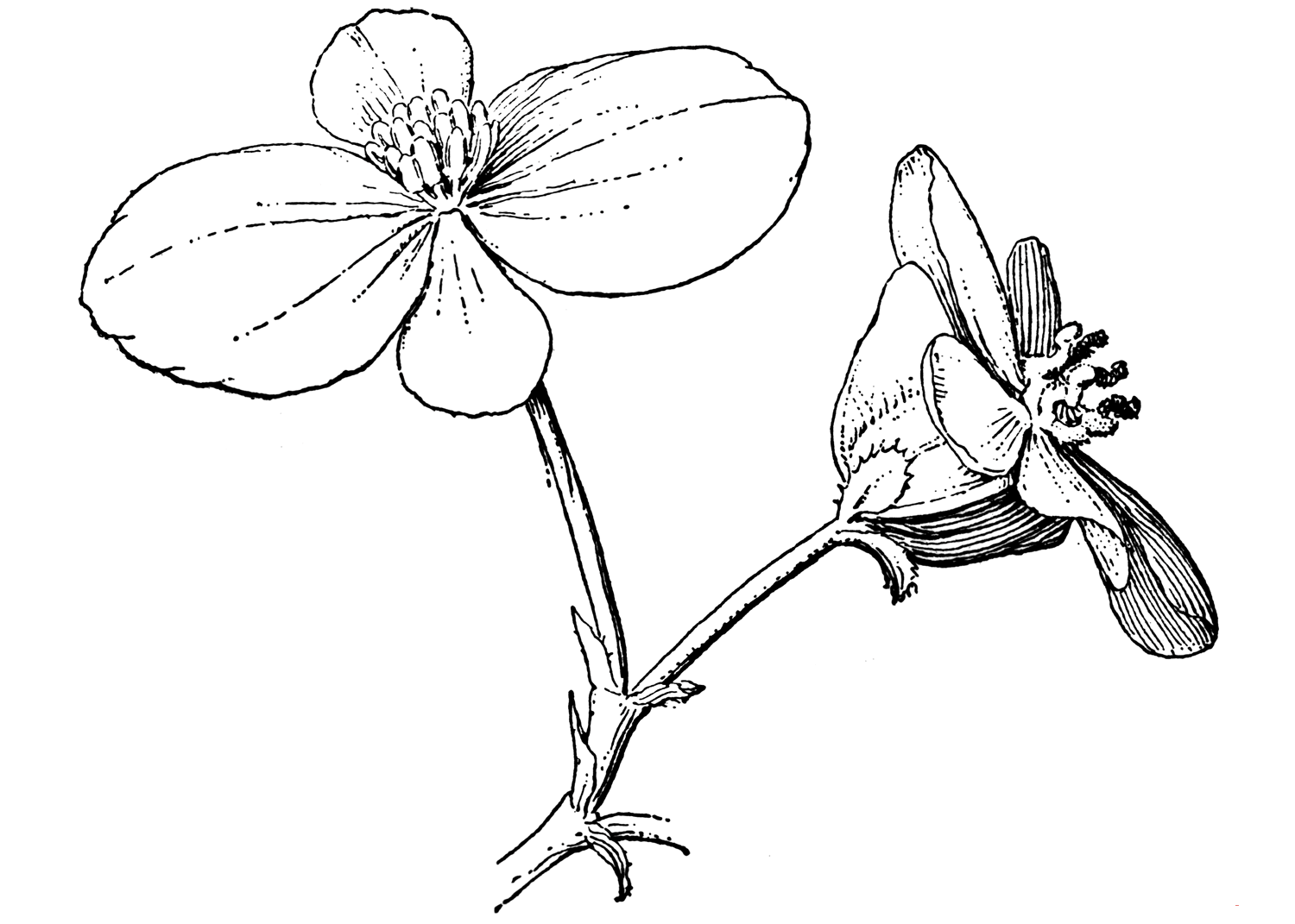 Begonia coloring pages to download and print for free