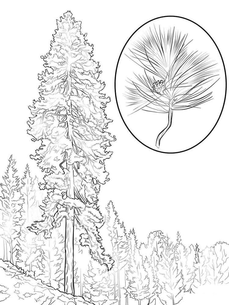 Pine coloring pages to download and print for free