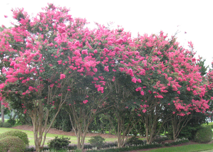 feature plant crape myrtle burlington