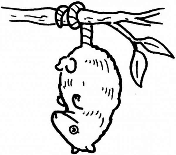 Hanging Possum Coloring Page : Color Luna