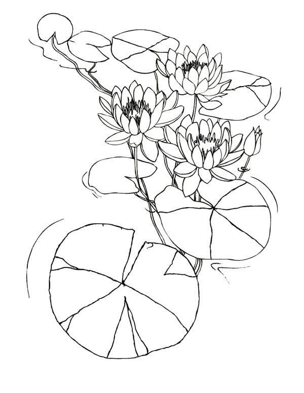 Water Lily Flowers Among Lily Pad Coloring Page : Color Luna