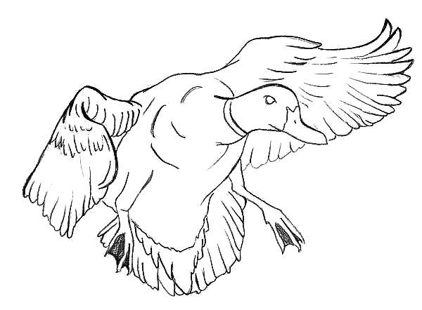 Mallard Duck : Mallard Duck Outline Coloring Pages