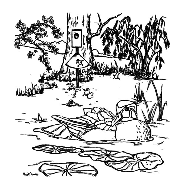 Pintail Duck Coloring Pages Coloring Pages