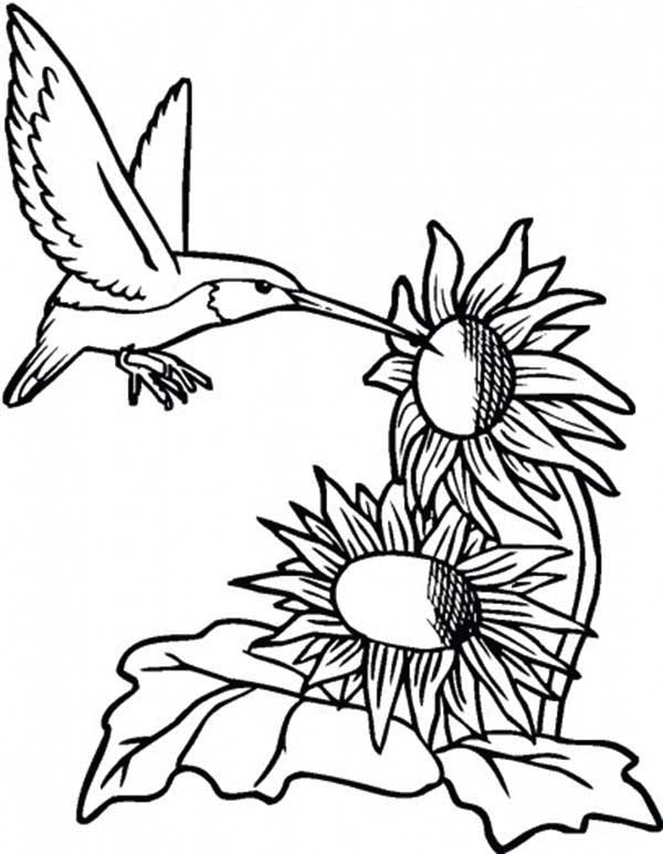 Sunflower And Hummingbird Coloring Page Download Amp Print