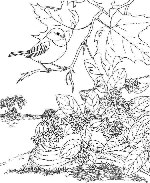 Beautiful Chickadee Bird Coloring Page Download Amp Print