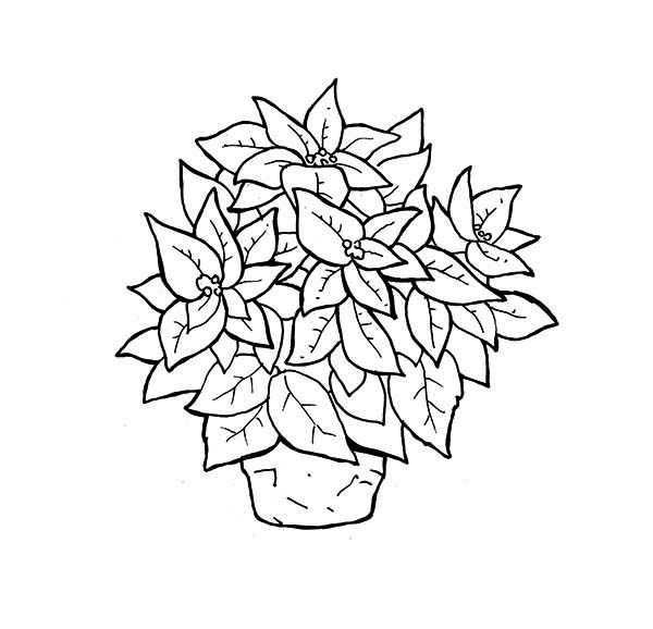 Wonderful Poinsettia Flower In A Pot Coloring Page