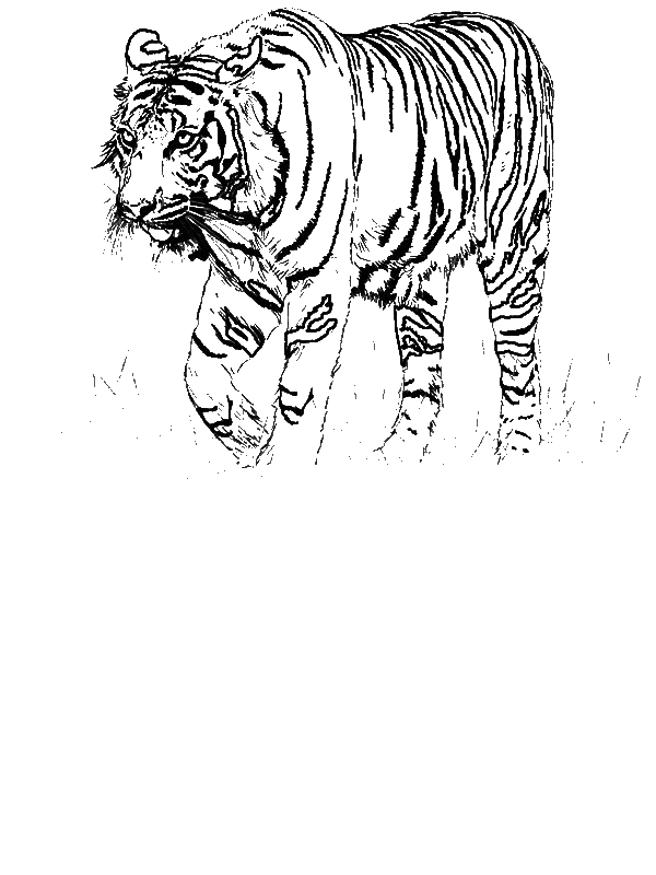 A Realistic Drawing Of Bengal Tiger Coloring Page