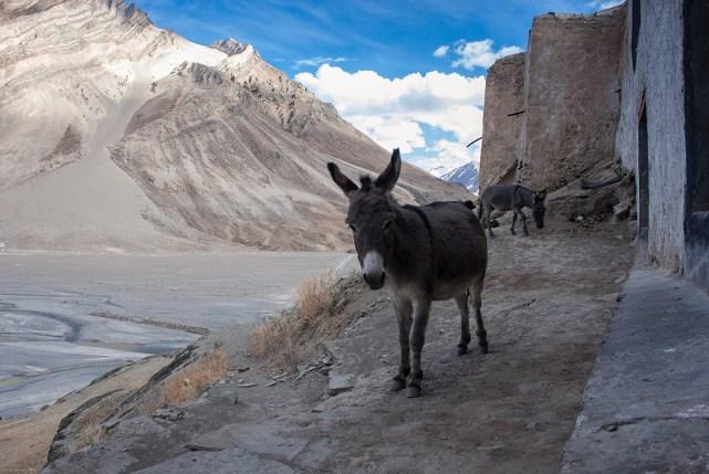 Donkeys at Rangdum Monastery, Ladakh