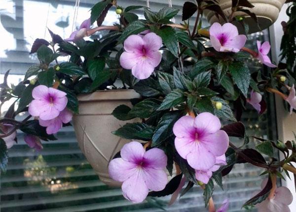Цветение ахименеса Peach blossom в домашних условиях