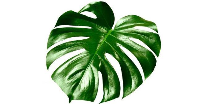 Красивая вечнозеленая лиана родиной из Южной Америки