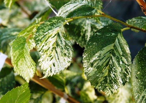 вяз фото дерева и листьев