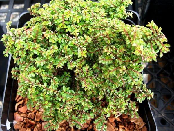 Ulmus-parvifolia-Hokkaido