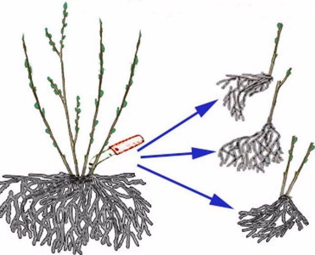 размножить делением куста