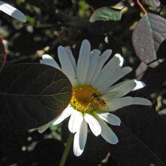 daisy2
