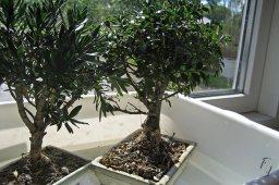 remember to water bonsai