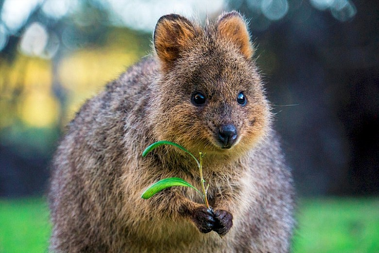 Quokka by Sam West