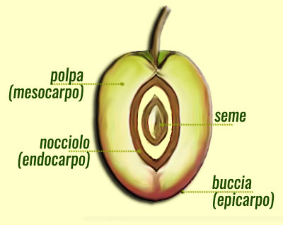sezione oliva