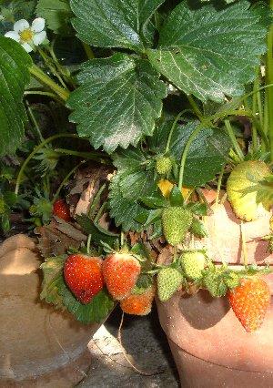 Basilico coltivare l 39 orto in giardino o sul balcone for Coltivazione basilico in vaso