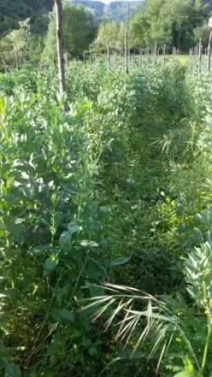Progettare un orto-coltivazione di fave