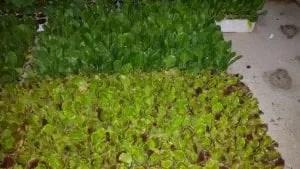 Semenzaio con sementi biologiche per piantine da orto-piantine di bietola ed insalata