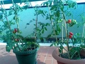 Orto sul balcone o sul terrazzo-pomodoro ciliegino in vasi singoli