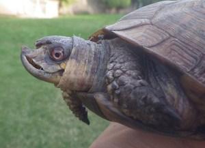 Kennewick Tortoise