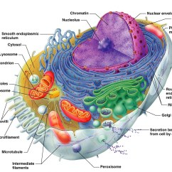 Lysosome Cell Diagram Bobcat 743 Parts Combustion Science