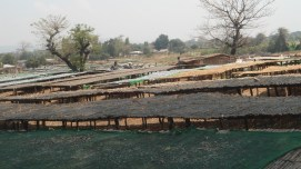 Fish drying racks at the landing site display the integration of the agricultural and forested landscapes. As trees are cleared, villagers must journey further up the mountains to acquire wood for their drying racks. Wood is also valuable as a source of both household energy and fuelwood for fish processing.