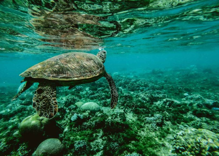 turtle indonesia gili meno come2indonesia