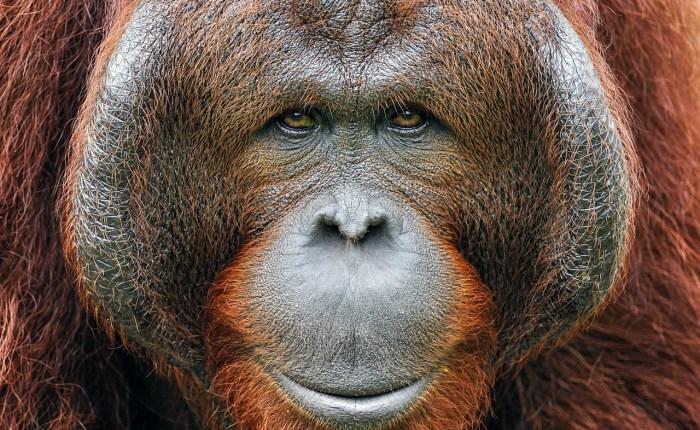 vida silvestre Indonesia, tour de orangután, dragones de Komodo