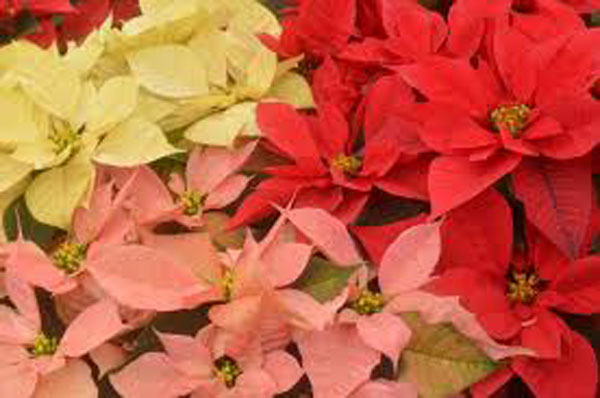 La Flor de Nochebuena (Cuetlaxóchitl), herencia prehispánica y símbolo de la Navidad