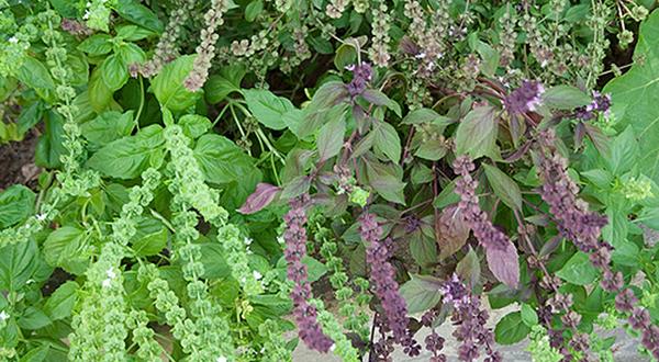 Cómo cultivar albahaca a partir de brotes. Cómo podarla