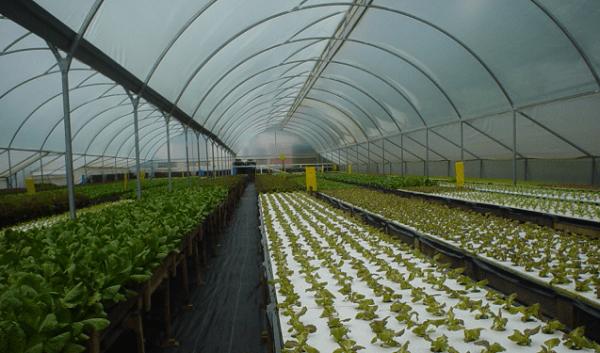invernadero productor