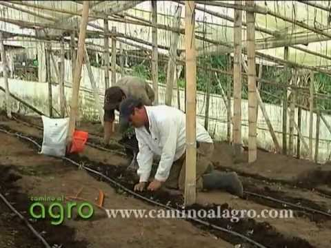 Cultivo de Tomate Orgánico  (videos)