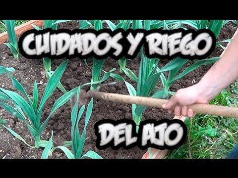 Cultivo Del Ajo : Cuidados y Como Regar Los Ajos